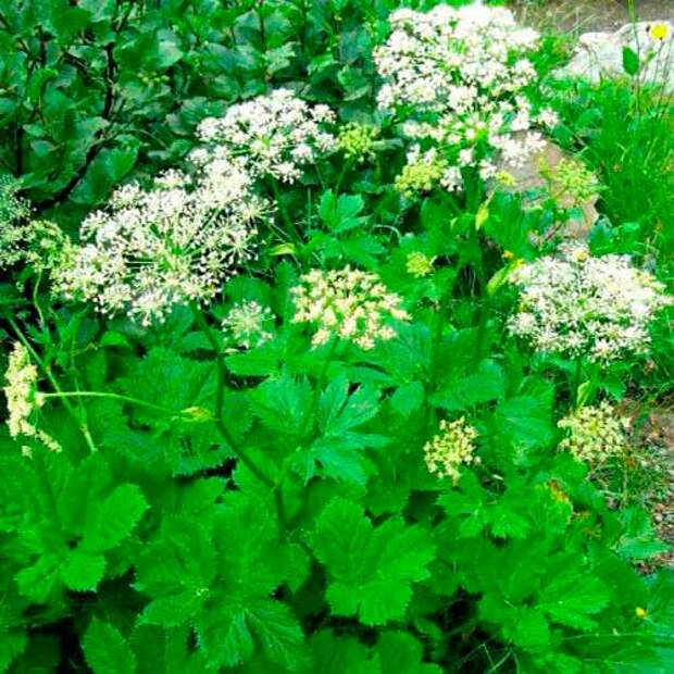 Лекарственное растение Горичник - царский корень (Imperatoria ostruthium)