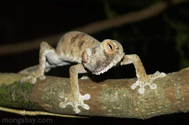 Uroplatus Geckos. животные, интересное, мадагаскар, факты, эндемики мадагаскара