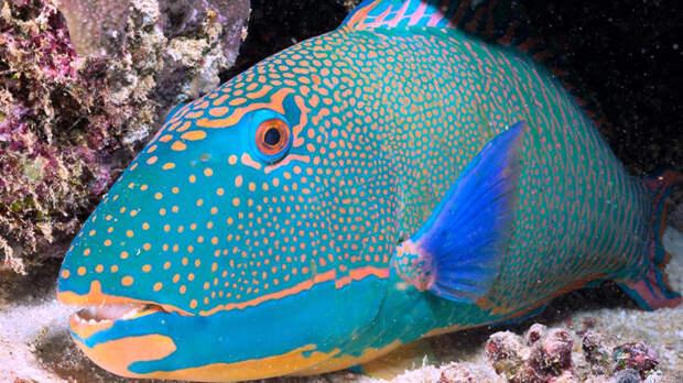 Рыба-попугай животные, красота, океан