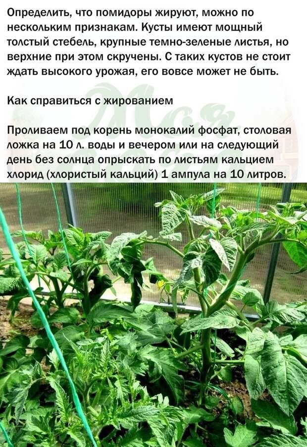 Боремся с жированием томатов