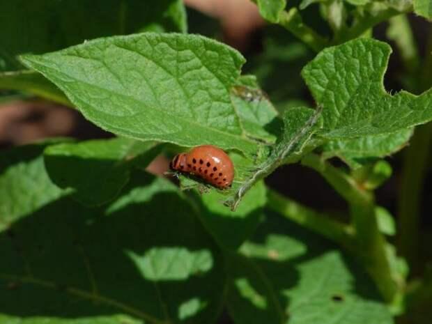 Самоуничтожение колорадского жука