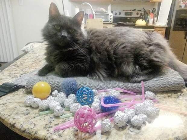 коты воришки, коты и их сокровища, коты воруют