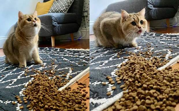 Хозяйка случайно рассыпала корм, и реакция кота прославила его в Сети