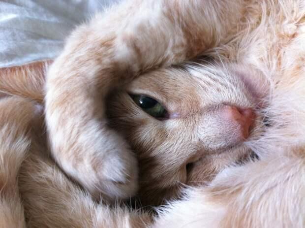 «Приносящую удачу» кошку в Кирове продают за 1,5 млн рублей