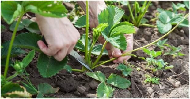 Как правильно ухаживать за кустами клубники после плодоношения
