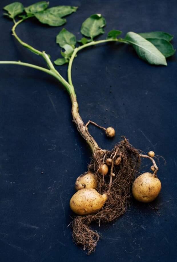 Оказывается, существует конкурс на лучшее фото картошки. Вот финалисты 2020 года