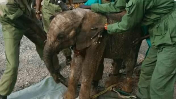 Мама-слониха привела новорожденного слоненка-девочку к людям, которые спасли малышке жизнь