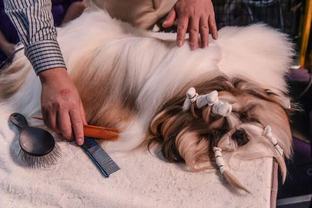 Подготовка к выходу на подиум ведется специальными собачьим парикмахерами