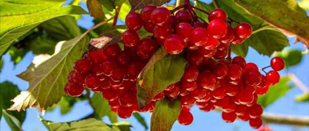 Три чрезвычайно полезных для сердца ягоды