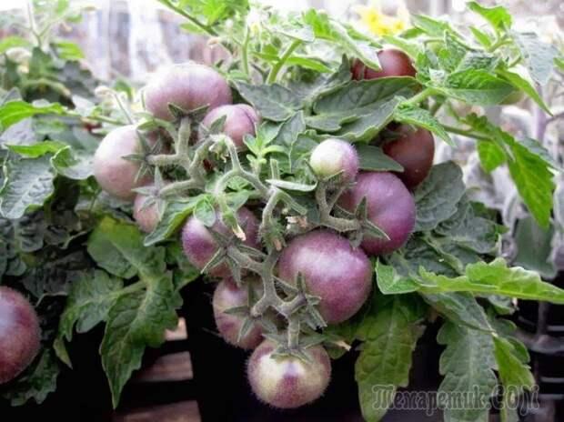 Синие помидоры – новинка в огороде
