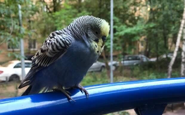 Сбежавшего попугая на Живописной вернули хозяйке