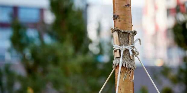 Оформить заявку на именное дерево в Москве можно до 15 июня