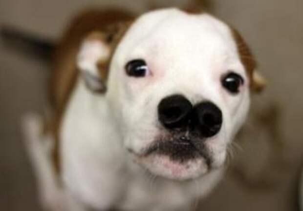 Собака с двумя носами хочет найти любящую семью