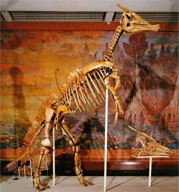 Рис. 5. Скелет зауролофа (Saurolophus angustirostris); взрослое животное было ростом около 5-6 м. Вид открыл Анатолий Константинович Рождественский в 1952 г
