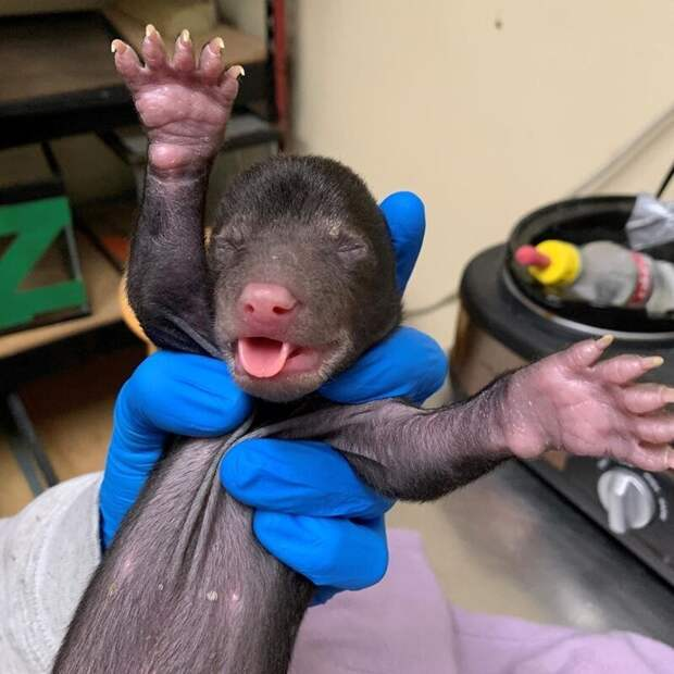 Ещё одна новорождённая медведица, которую ранее доставили в Центр