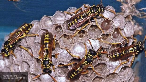 Антибиотик на основе яда азиатской осы создали ученые