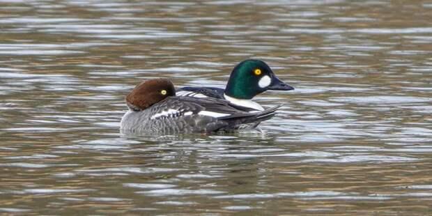 На прудах Кузьминского парка обнаружили редких птиц