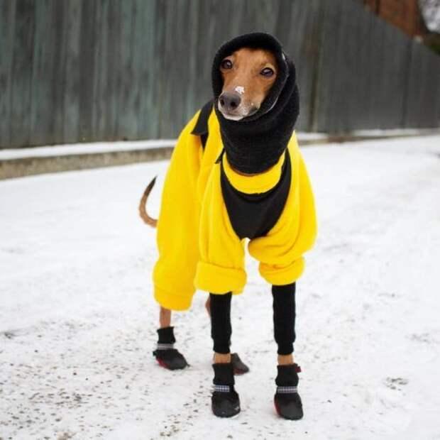 Джоуи, собака, которая является профессиональной моделью