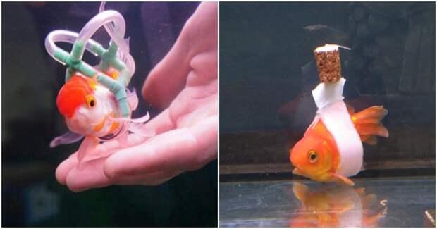 Рыбка не умела плавать, и ее владелец сделал для нее нечто вроде плавающей инвалидной коляски