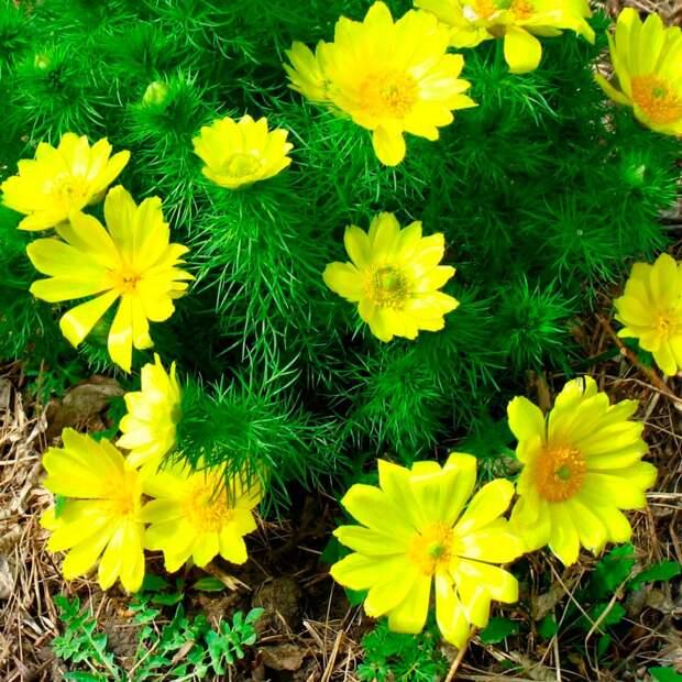 Основные биологические и декоративные характеристики многолетних растений