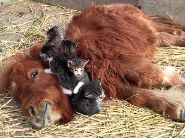 Dидео с котятами, которые подружились с теленком, набирает популярность в Сети