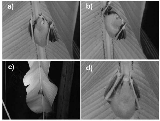 Белый листонос: Ломают все стереотипы о летучих мышах. Милые, белоснежные, спят в листиках и едят только фрукты