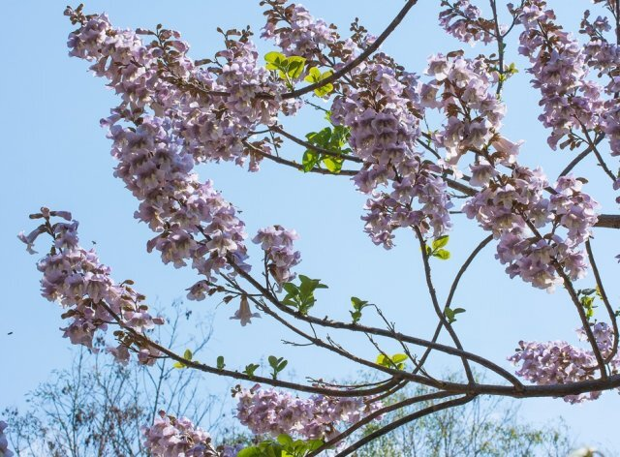 """Павловния: как вырастить """"дерево удачи"""""""