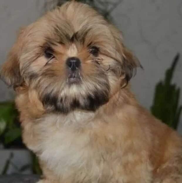 У щенка породы ши-тцу, выросла борода размером с самого себя