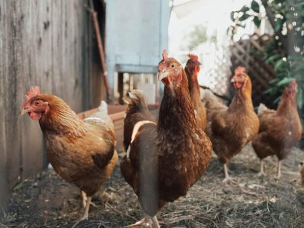 _птицийгрип_курица-1024x768 В Китае вспышка птичьего гриппа: трое заболели, один умер