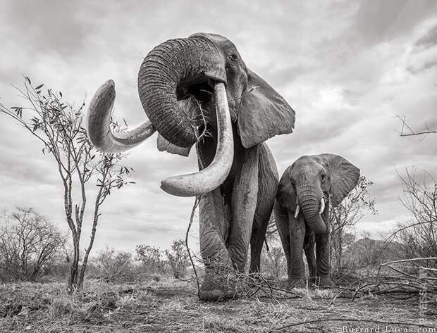 Последние фото легендарной «Королевы слонов» перед ее смертью