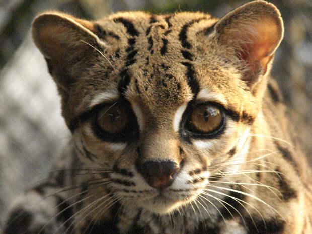 Длиннохвостая кошка дикие кошки, животные, кошки, природа