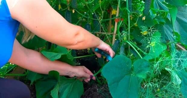 В июне удалите все нижние листья огурцов, чтобы они не заболели