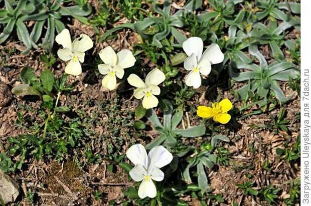 Многолетняя фиалка этолийская. Фото с сайта greekflora.gr