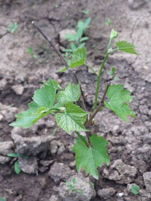Высаженный виноград в мае.