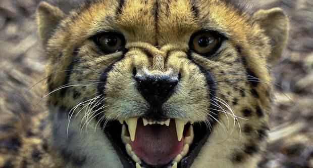 Солнце очень громкое, гепард не умеет рычать: 11 безумных и неожиданных фактов