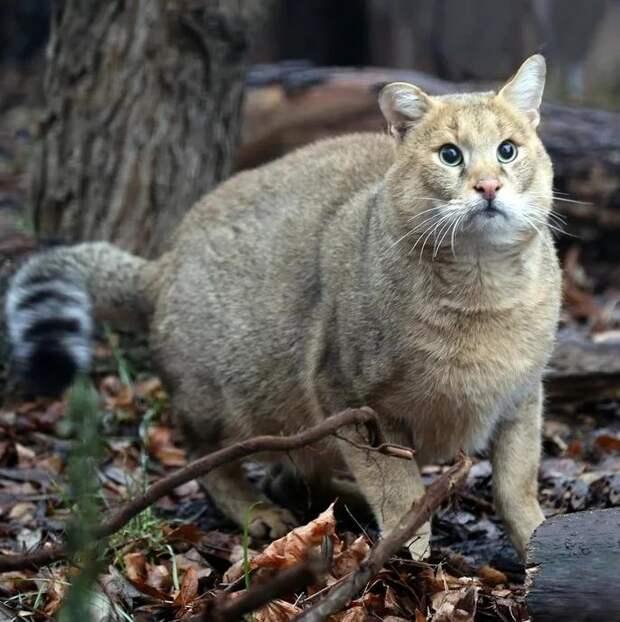 Дикий камышовый кот, настолько эмоционален, что ему позавидует любой актер