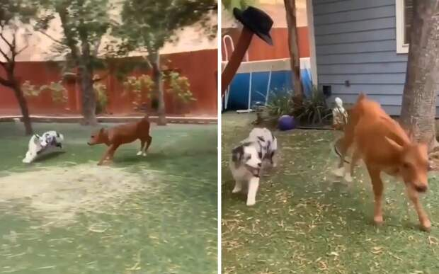 Пес и теленок, играющие в догонялки, умилили интернет