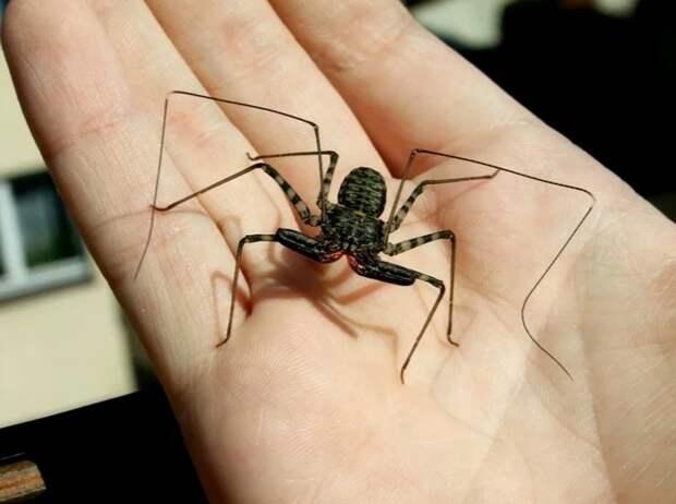 Фрин – жгутоногий паук с GPS-навигатором