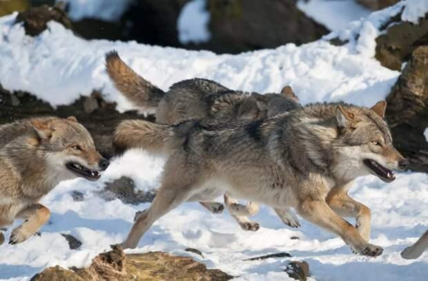 Cтая волков в Череповецком районе охотилась на работающих электриков