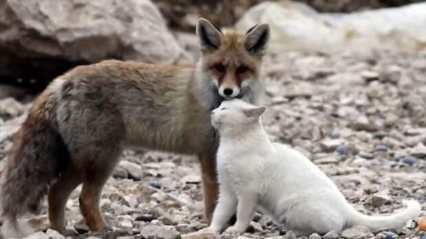 Лиса сначала хотела съесть кошку, но потом между ними возникла дружба