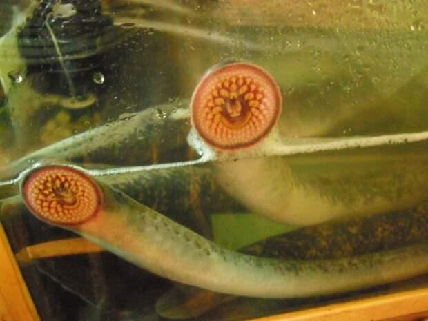 Миноги: Многие серьезно считают, что это рыба, но это не так! Кто же ты, опасный вампир из наших рек?
