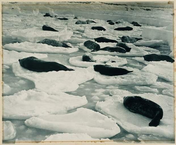 Лежбище тюленей Австралийская антарктическая экспедиция, антарктида, исследование, мир, путешествие, фотография, экспедиция