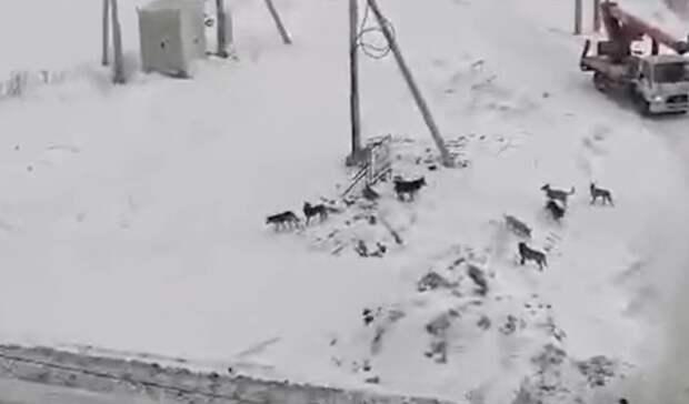Еще одна собака погибла из-за стаи бездомных псов на Вагонке в Нижнем Тагиле