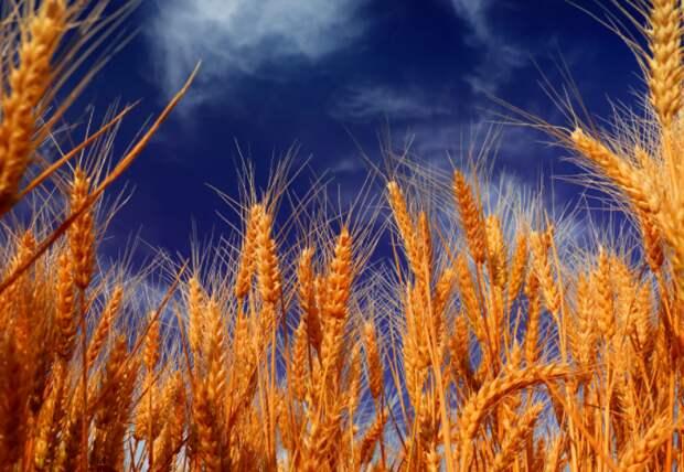 Минсельхоз США резко снизил прогнозы по урожаю и экспорту пшеницы РФ в 2021 году
