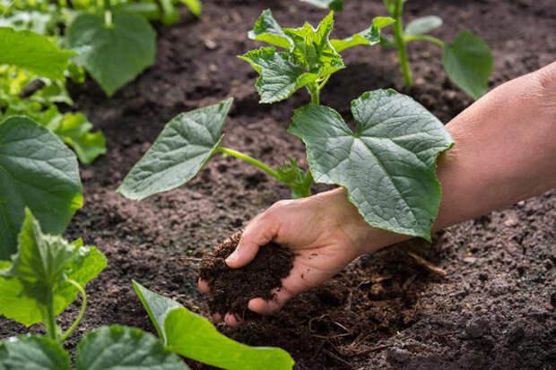 Огурцы любят хорошо окультуренные почвы