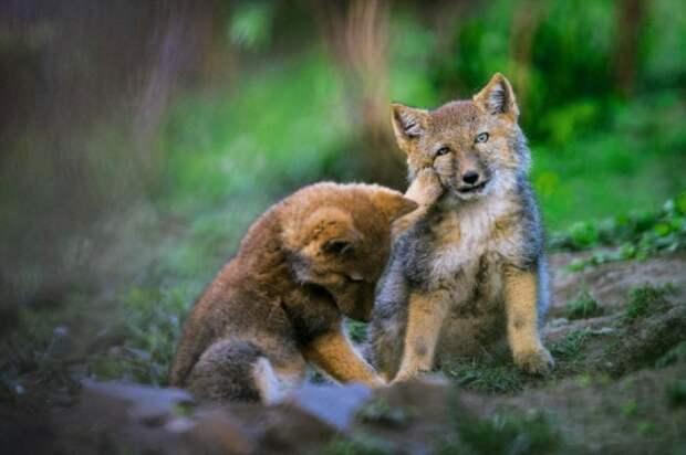 Тибетская лисица: Охота в стиле Кунг-Фу! (7 фото)