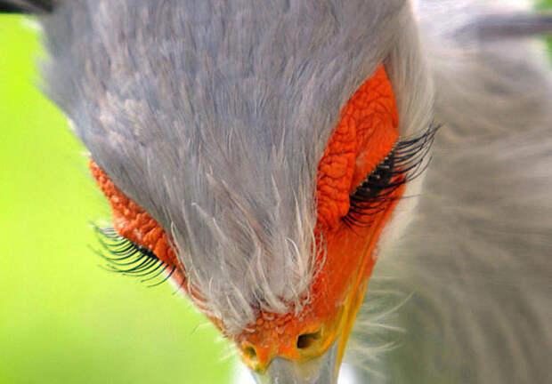 5 фото птицы-секретаря, которая любит пококетничать