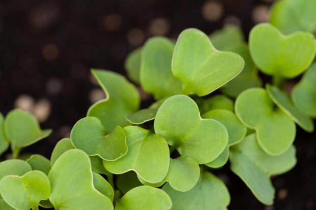 Выращивая редис для корнеплода, всходы придется прореживать несколько раз