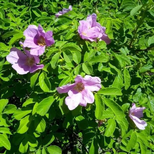 Фото дня – на Расковой цветет шиповник