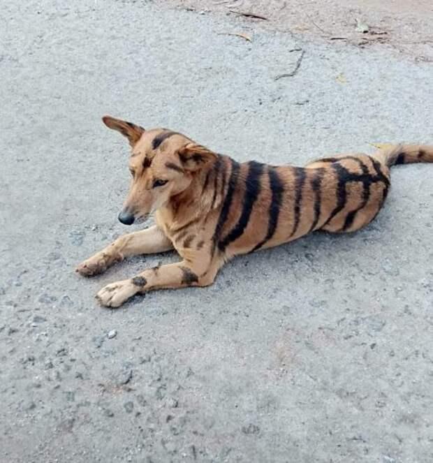 Индийский фермер перекрасил свою собаку в тигра, хотя мало кто верил, что это поможет